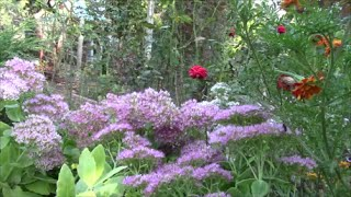 Очитки цветущие осенью. Седумы в нашем саду!