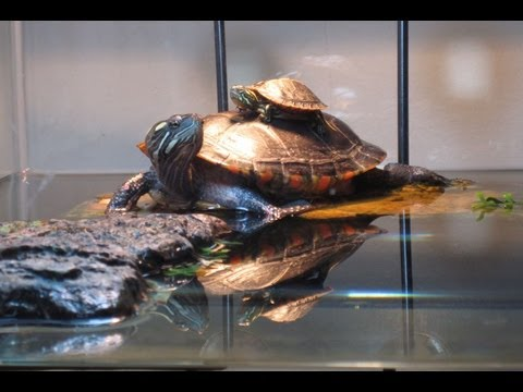 75 Gallon Painted Turtle Tank Setup