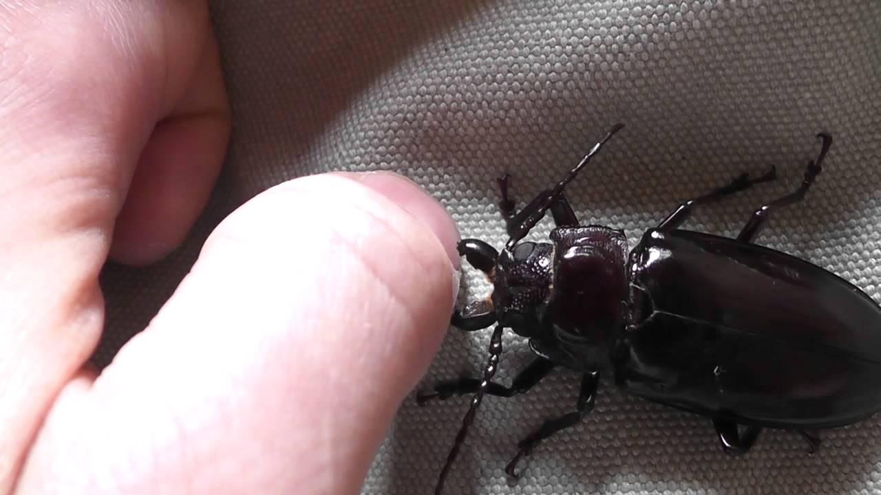 Beetle bite test