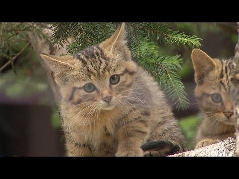 Zoo Ostrava - kočka divoká