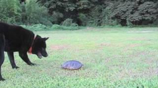 陸の川の広場でアカミミガメを見つけた!! There is a tortoise.