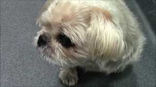 Amy, An Affectionate 9-year-old Yorkie/pug Mix For Adoption Or 501(c)(3) Rescue In Manahawkin, Nj