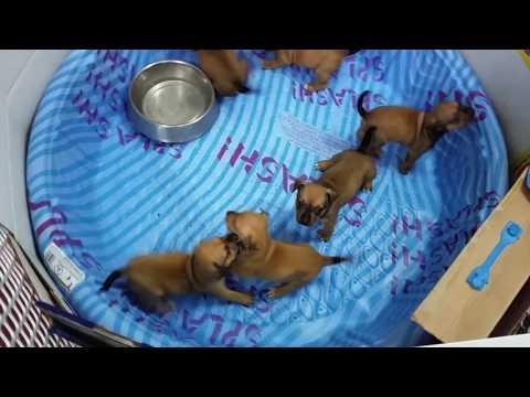 Chihuahua-Mix / Pitbull (Bully) Puppies