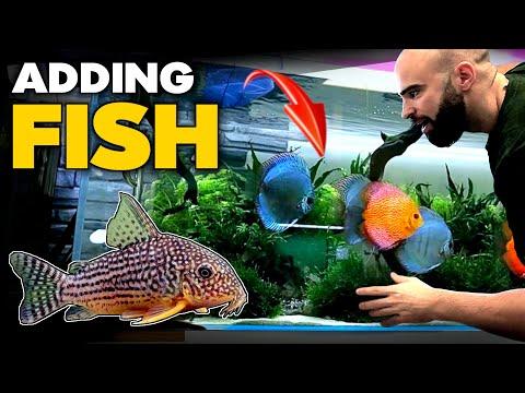 adding-*special*-cory-fish-to-discus-aquarium-|-md-fish-tanks