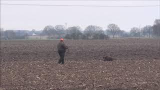 Drückjagd  ,    Keiler, Nicht ganz ungefährlich . Wild Boar Dangerous Attack.