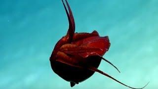 Kỳ lạ sinh vật mang hình dáng như một quả tim biết di chuyển