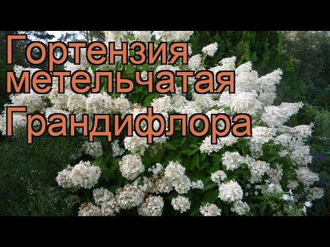 Гортензия метельчатая Грандифлора (grandiflora) 🌿 обзор: как сажать, саженцы гортензии Грандифлора