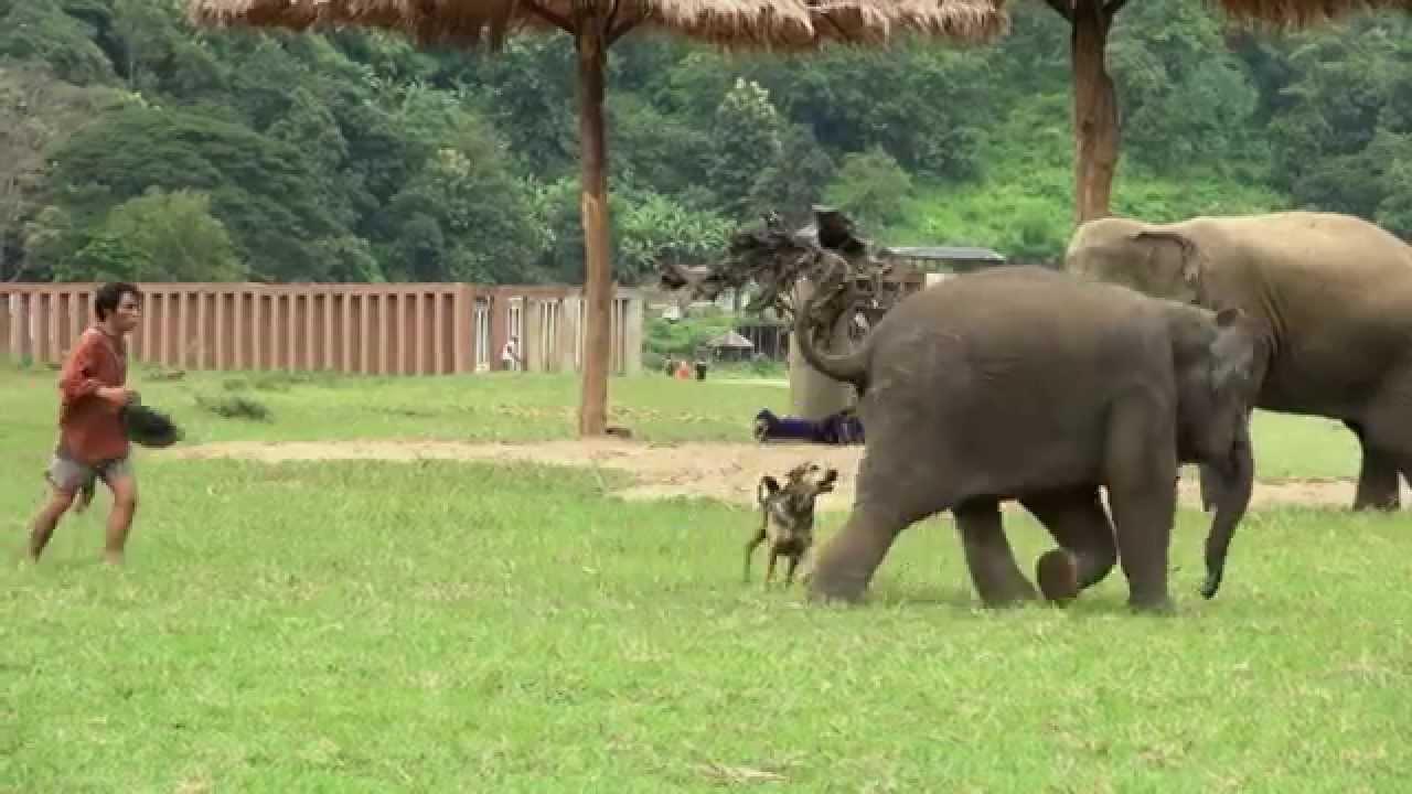 Download Baby elephant Yindee vs dog 2 - ElephantNews