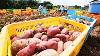 Japan Sweet Potato Cultivation Technology - Sweet Potato Farming and Harvest