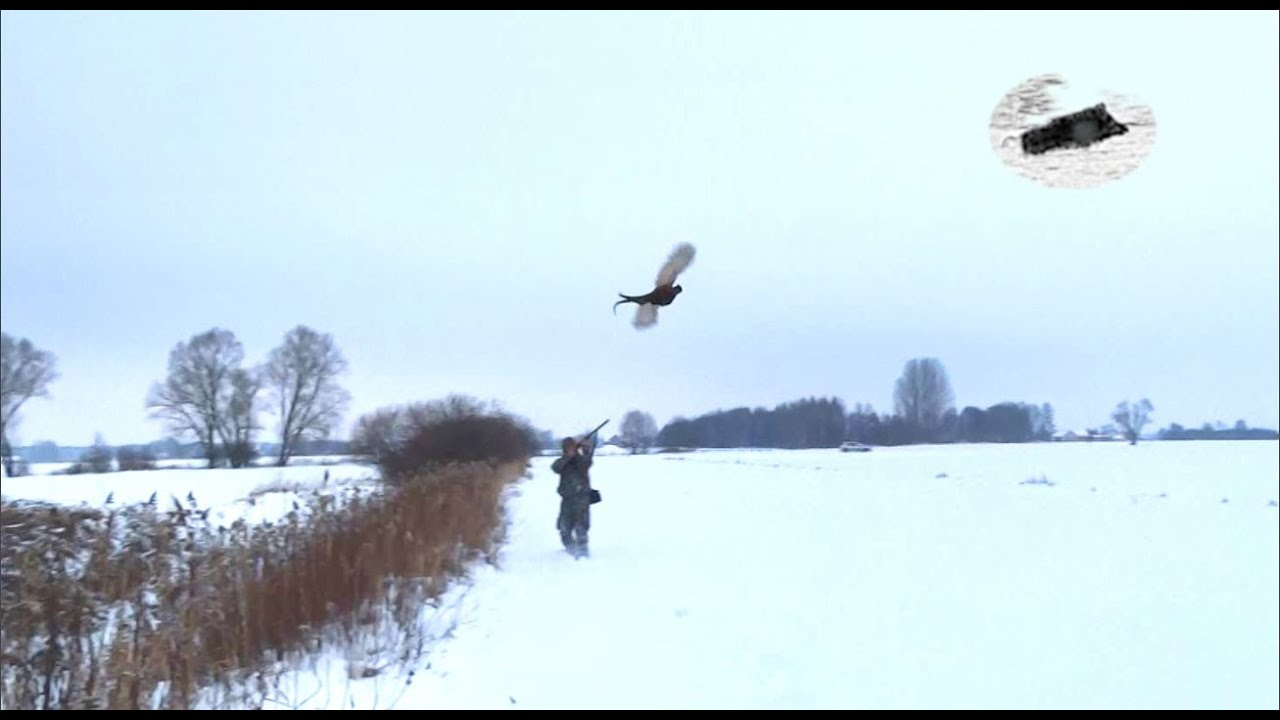 Hunting pheasants with dogs