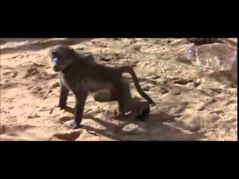 African animals get drunk by eating ripe Marula fruit and hot disweather