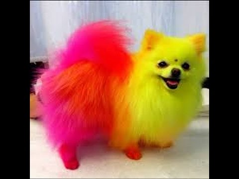 Pomeranian Dogs Youtube