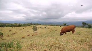 Peternakan Sapi Padang Mengatas New Zealandnya Indonesia - Ind…
