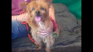A4858821 Chewie | Yorkshire Terrier Mix