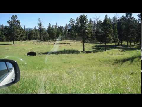 Wild Buffalo of Yellowstone National Park