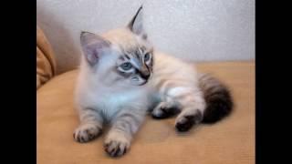 Сибирский невский маскарадный котенок