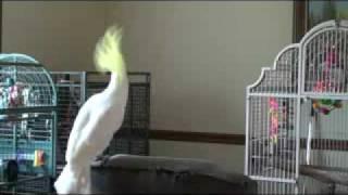 Самый известный попугай интернета танцует в память о Джексоне