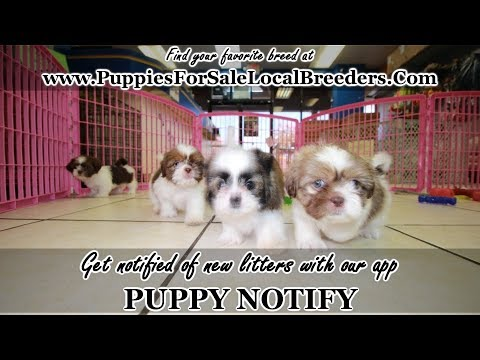 SHIH TZU PUPPIES FOR SALE, GEORGIA LOCAL BREEDERS, NEAR ATLANTA, GA