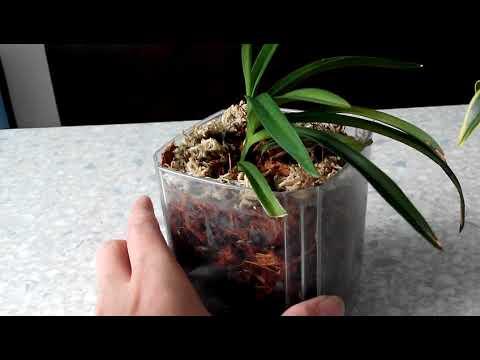 Новые приобретения: орхидеи Дендробиум Кингианум, Неофинития Фальката, Фаленопсис Шиллириана.