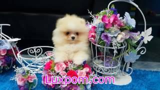 Чудестная собака Карликовый померанский шпиц из элитного питомника