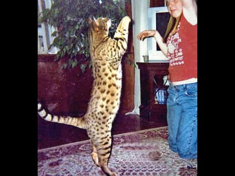 Bengal cat for adoption in texas