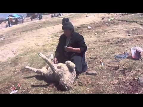 Koyun Kesen Kadın KKB  How to slaughter a lamb or goat or sheep woman. Kurban Kesimi