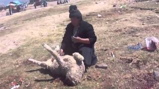 Koyun Kesen Kadın KKB  How to slaughter a lamb or goat or sheep woman. Kurban Kesimi