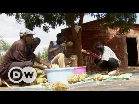 Baobab: Long overlooked but rich in potential | DW English