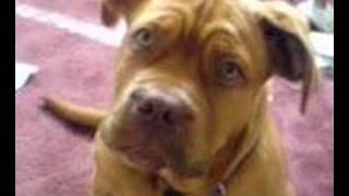 Dogue De Bordeaux Puppy Barking