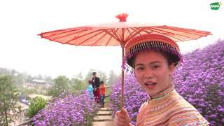 Em Gái Dân Tộc Xinh Gái Bên Vườn Hoa Lavender | Sapa Tv