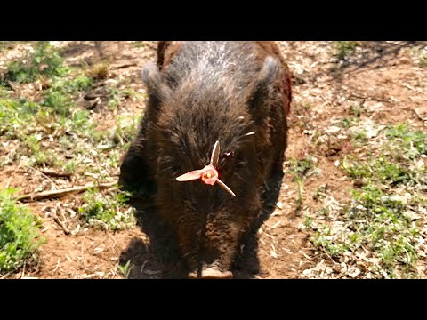 AMAZING HEAD SHOT: Texas Hog Bowhunt