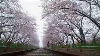 [숨터] 진해 벚꽃 길 (2015.04.07,화)