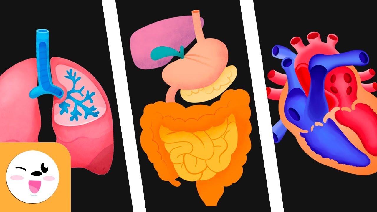 Los Sistemas Del Cuerpo Humano Para Niños Sistema Circulatorio Digestivo Y Respiratorio
