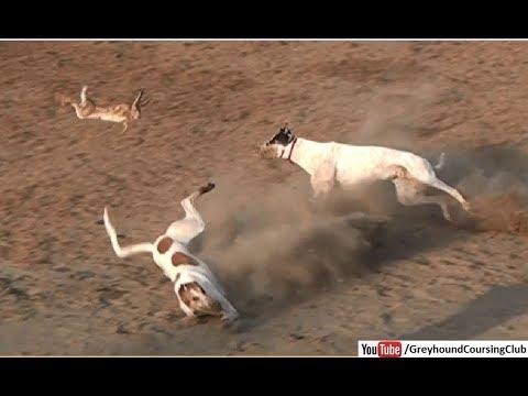 Rabbit Jumping   Greyhound Coursing 2018   Dog Race
