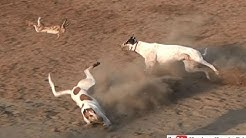 rabbit jumping | greyhound coursing 2018 | dog race