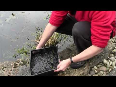 How To Prevent Frogspawn From Being Eaten By Fish And Dragonfly Larvae Etc