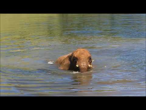 African Elephant Thika Goes Swimming
