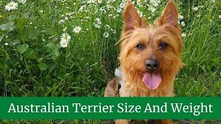 Australian Terrier Size And Weight || Australian Terrier Temperment and Behavior