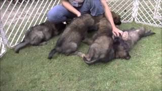 レオンベルガーや大型犬の情報はこちらから http://www.masaki-collecti...