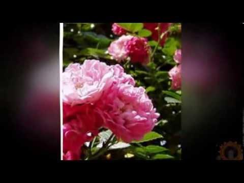 Мокнут розы под дождем-песня