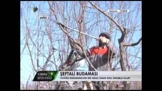 Şeftali Yetiştiriciliği Şeftali Ağacının Budanması 1. Bölüm