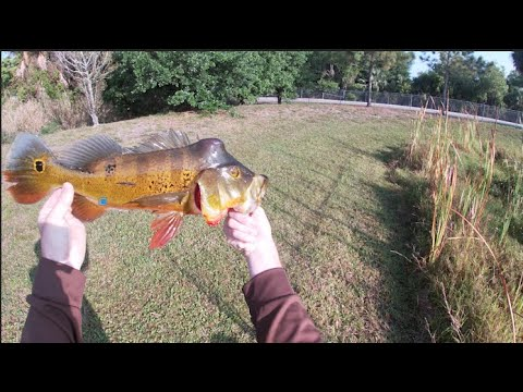 Catching my first peacock bass