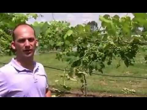 How to Care for Grapes, Grow Perfect Grapes