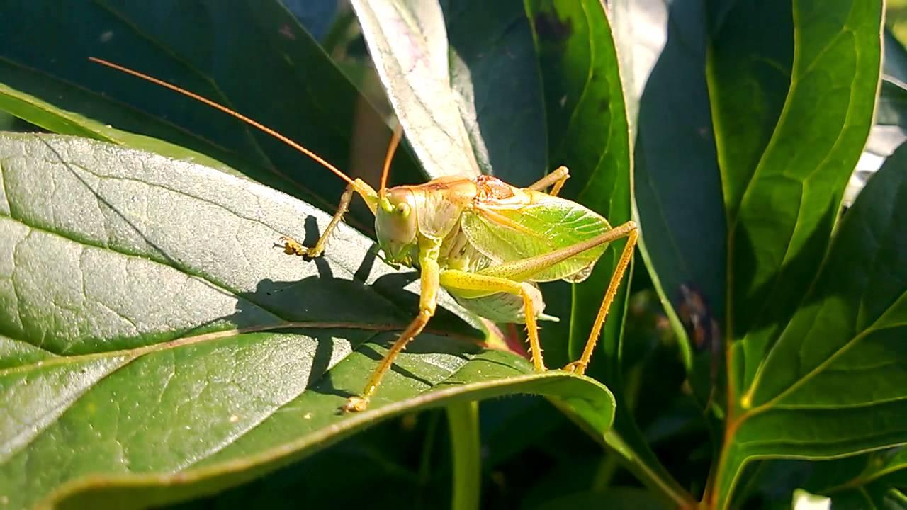 Sound of Grasshopper (Katydid)