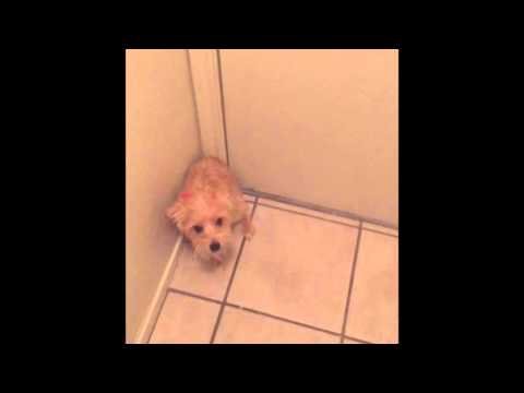 Dog Won't Let Owner Leave The House
