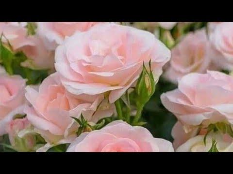 РОЗЫ. Ожог на розах от обработки химикатами если нарушаете инструкцию.