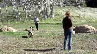 High On Kennels Hunt Training Wirehaired Pointing Griffon Dogs