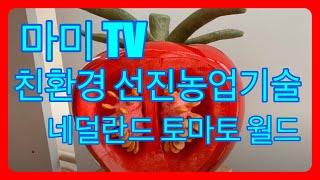 네덜란드토마토월드,대추방울토마토 열매크게키우기, 적엽해…