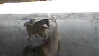 The Real American Pit Bull Terrier (cinnamon,debo,laydee)