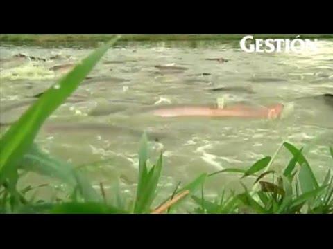 """Pond culture of """"Paiche"""", Arapaima gigas in Peru"""